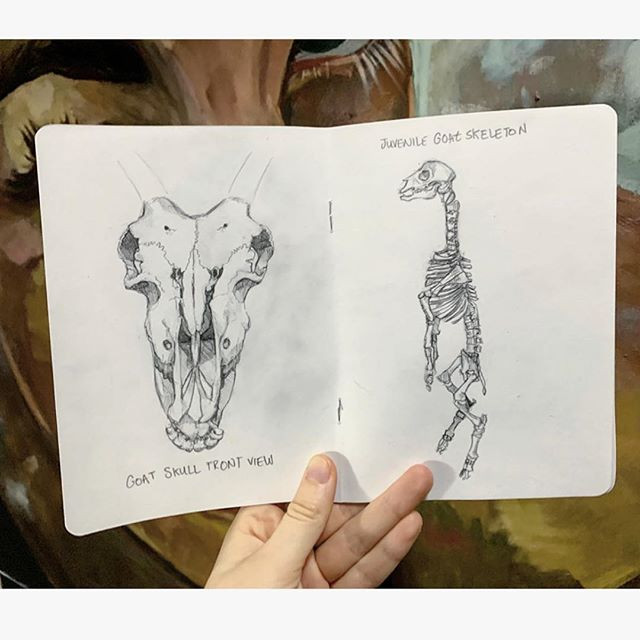 Goat Anatomy Study
