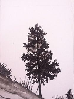 Nearwater Pine