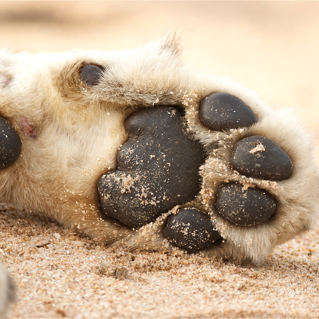Lioness paw.