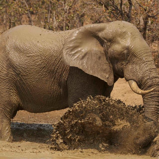 Elle bull mud bathing.
