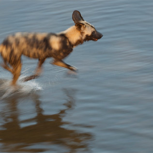 Wild dog running.