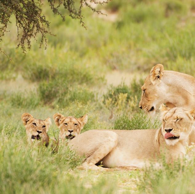 Lion pride.