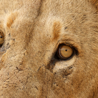 Eyes of the King.