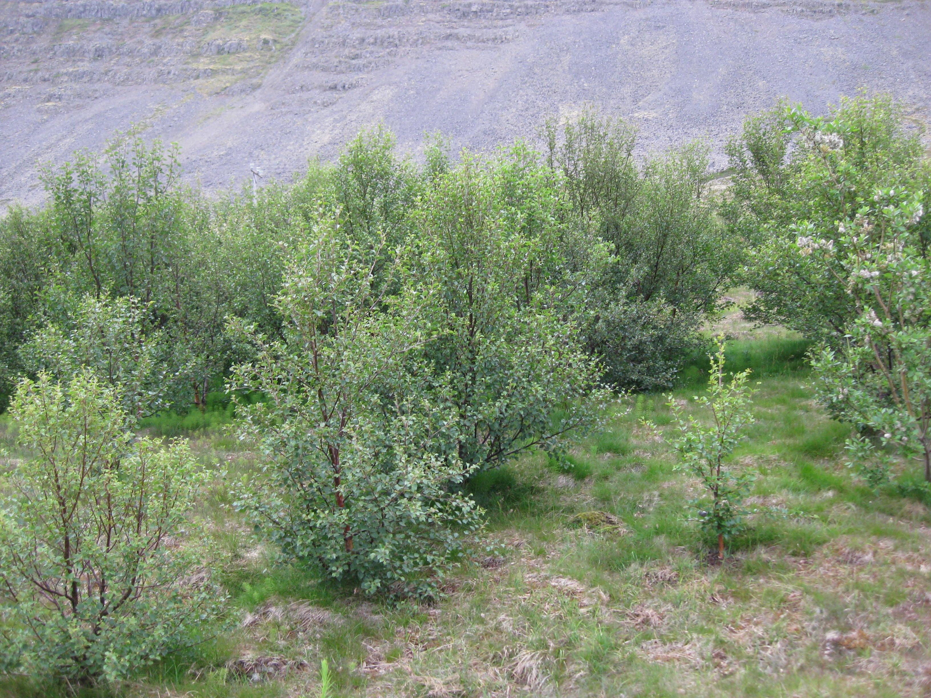 Ungur birkiskógur