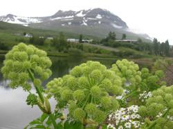 Ætihvönn á Reyðarfirði