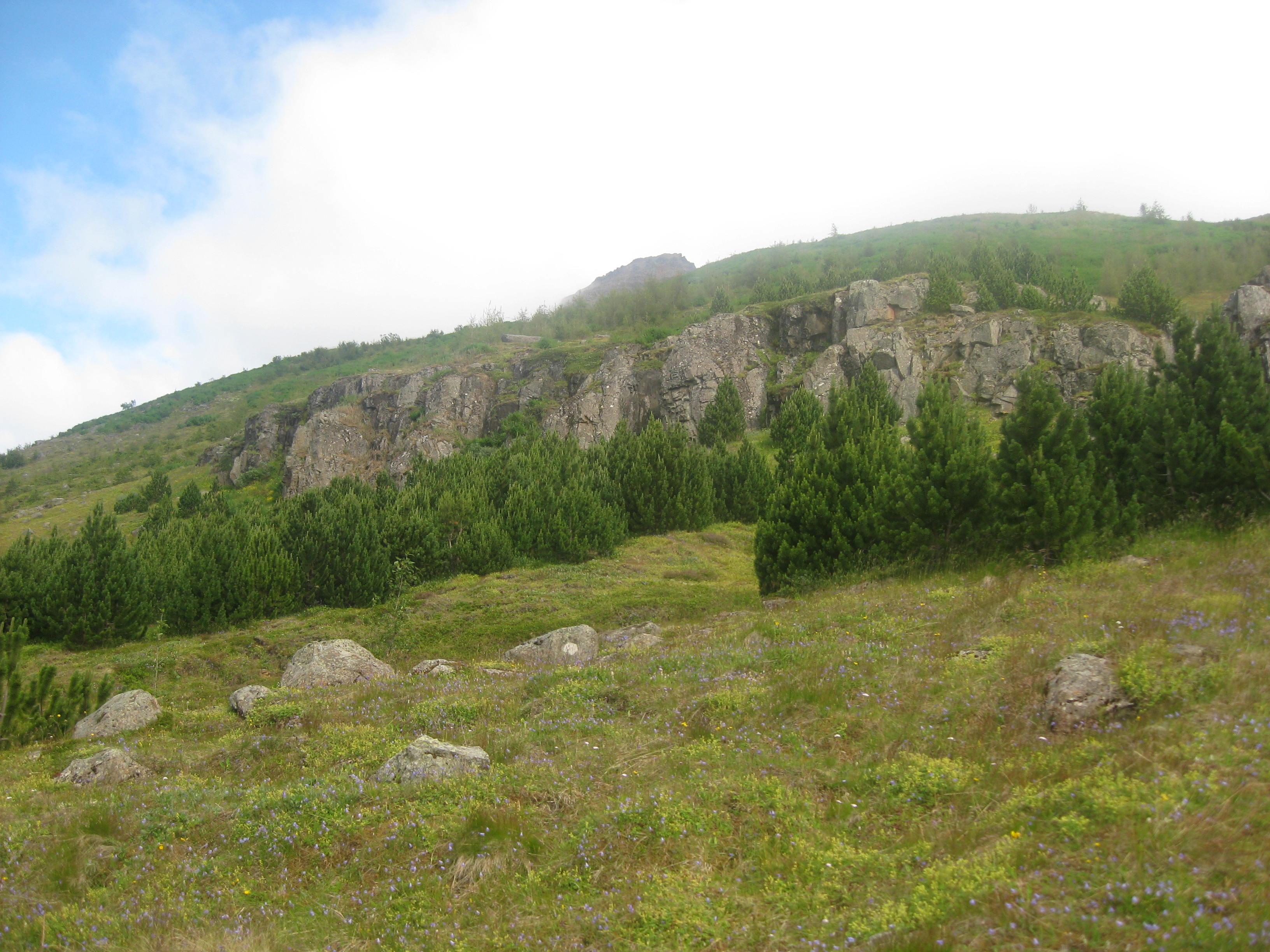 Ungar bergfurur á Seyðisfirði