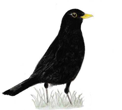 Svartþröstur, teikning: Jón Ásgeir Jónsson