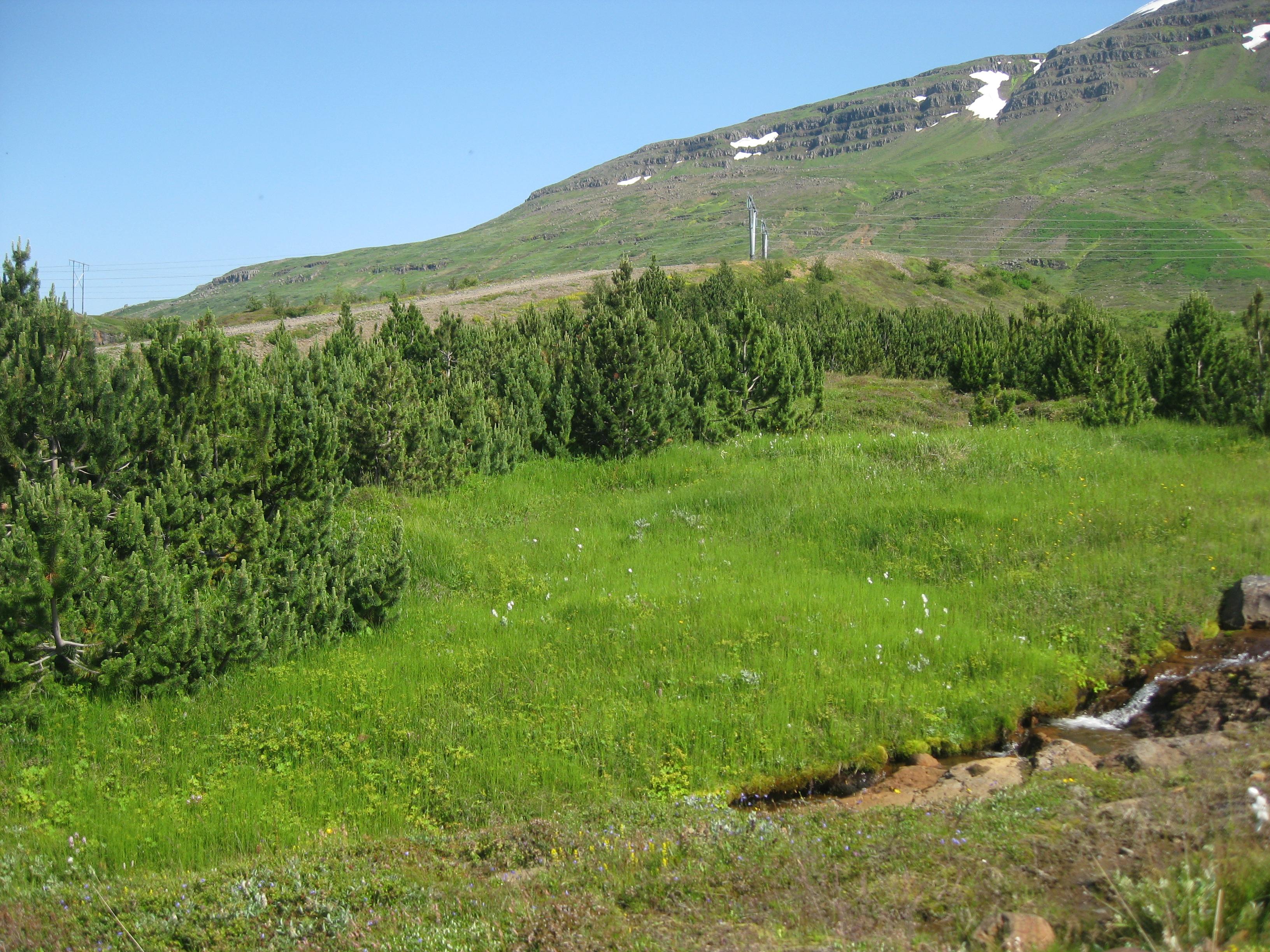 Ungar bergfurur á Reyðarfirði