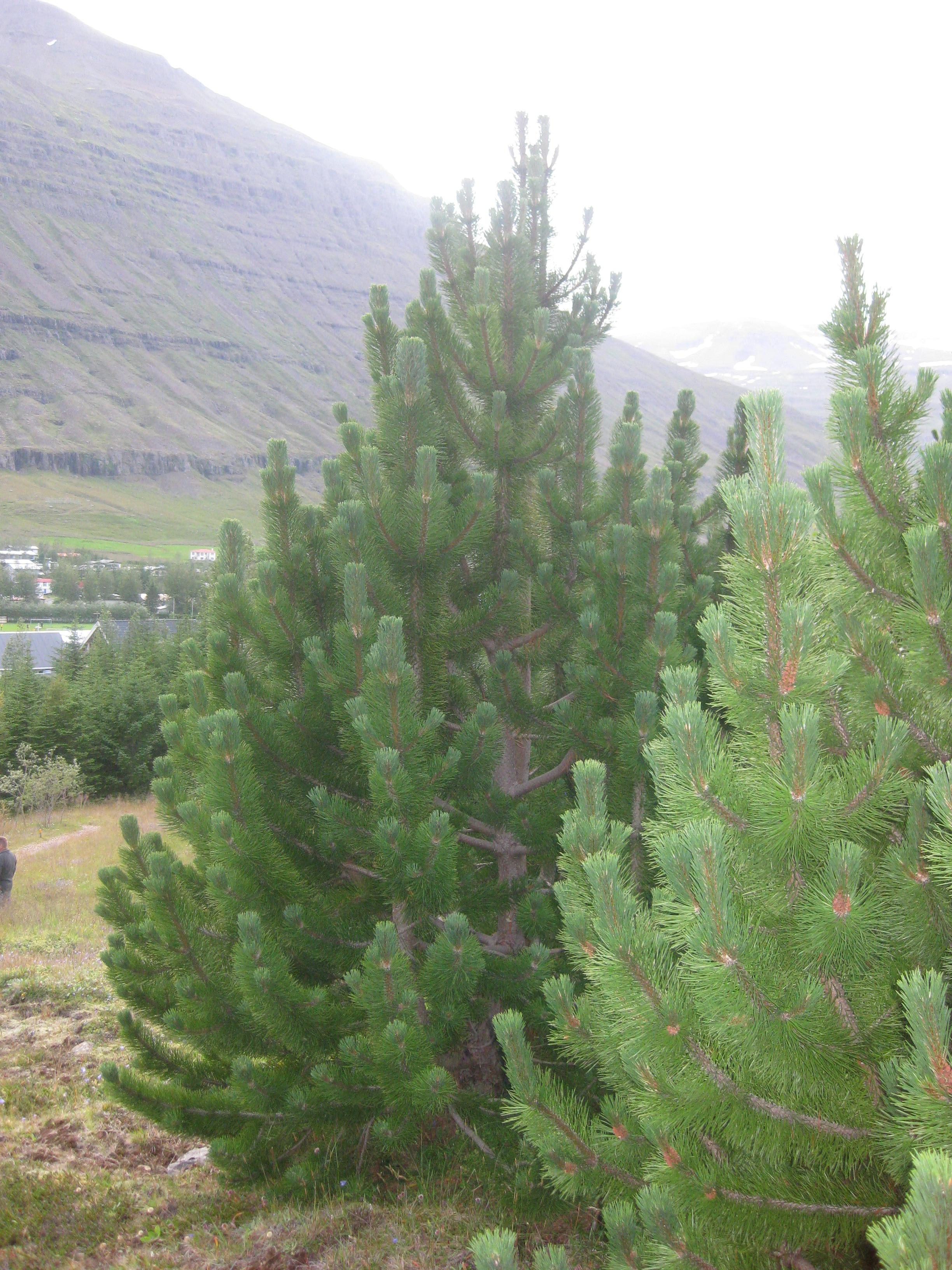 Bergfurur á Seyðisfirði