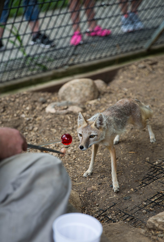 Zookeeper Bill Gallagher attempts to train Kate, a swift fox, to touch her nose to the red ball during a training session Wednesday, Aug. 2 at Bramble Park Zoo. Gallagher is training the foxes to be calmer around people, lay still and do other tricks to make examinations and treatments less traumatic. ©2017 Grace Ramey