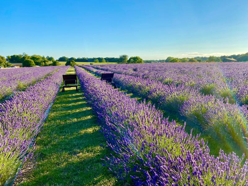 Finchingfield Lavender, July 2020