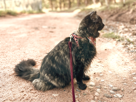 Kibble Cat to Carnivore