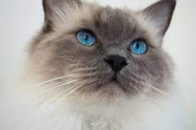 Ragdoll Cats Temperaments