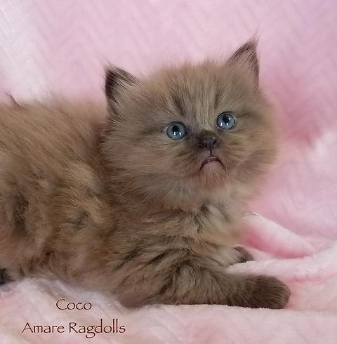 Coco Ragdoll 20200507_105731.jpg