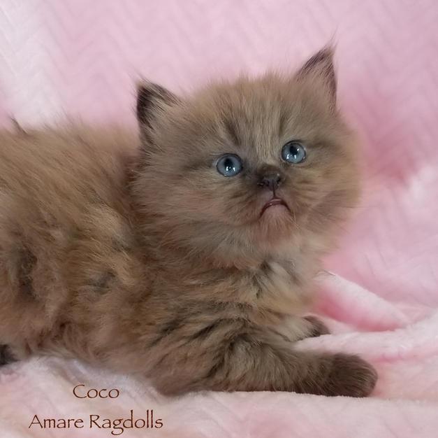 Coco Female Chocolate Ragdoll