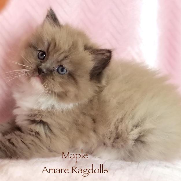 Maple Female Ragdoll