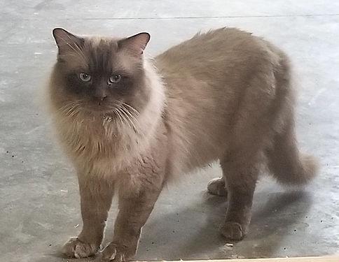 Lucius Male Ragdoll Cat 20200313_155103.