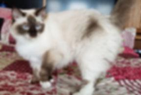 Angel-Ragdoll Cat-202004015 small.jpg