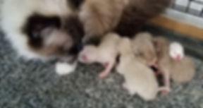 Lady Xemain Ragdoll cat & Kittens-202003