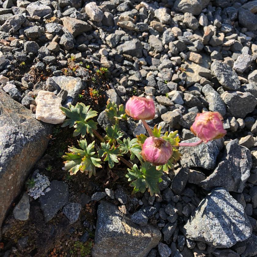 Glacier Buttercup flowers
