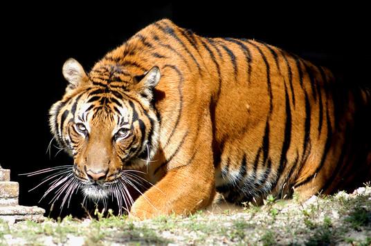 Indo Chinese  Tiger Hati