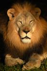 Sunrise Lion Portrait