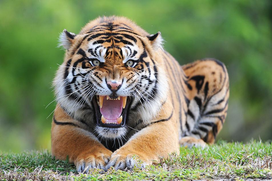 Sumatran tiger male portrait