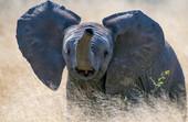 elephant calf charging