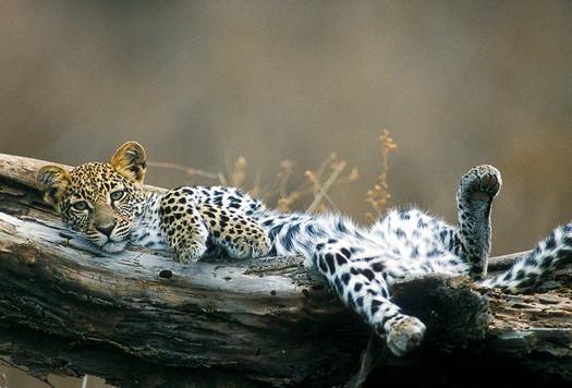 Leopard lying in log
