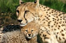 Cheetah mother & cub head over head