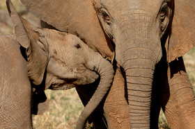 Samburu Elephant Juveniles