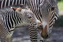 Zoo Miami Grevy's Zebras by Ron Magill