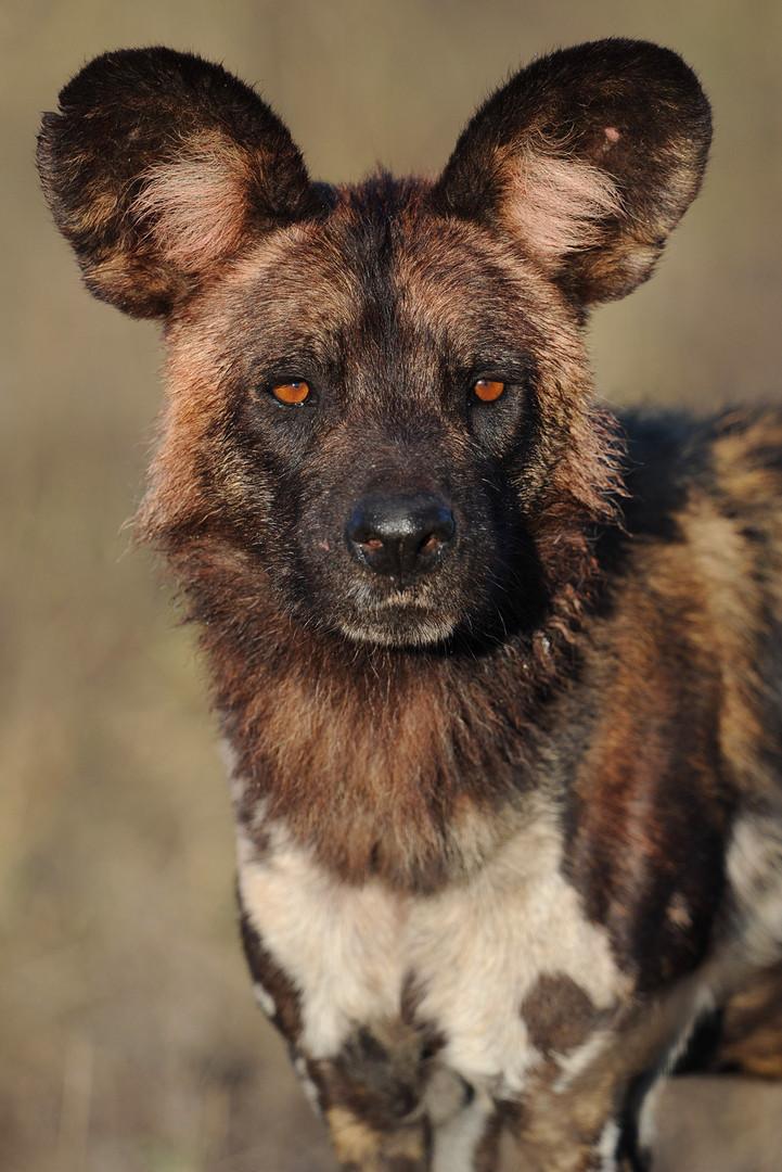 Wild Dog Alpha Male