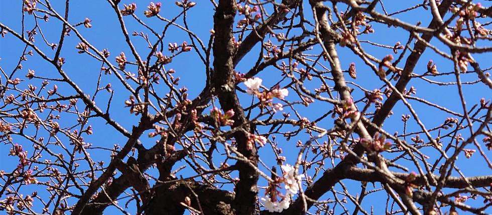 桜 開花 (山桜)