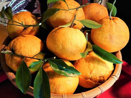 五月五日 立夏を過ぎました。本妙寺の夏みかん収穫 清正公にお供え