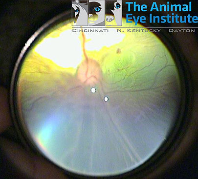 K9 Retinal Detachment Kimi Cottone 3 10.