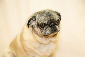 Senior pet- pug