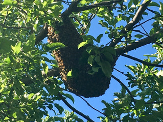 Catching Wild Bees