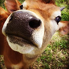 Grass fed jersey cows