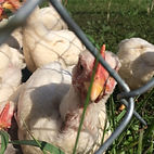 Pastured Chickens fed organic feed
