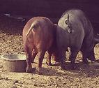 Heritage pork raised according to animal welfare guidelines