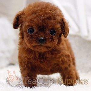 teacup-poodle.png