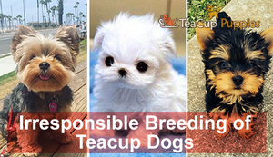 Irresponsible Breeding of Teacup Dogs