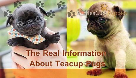 teacup-pugs-teacuppuppies.net_.png
