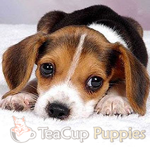 Teacup-Beagle.png