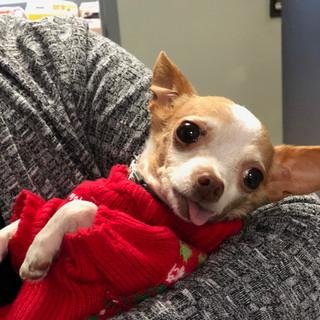 Barkley the adorable Chihuahua! (2018)