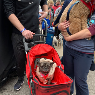 Phoebe, the adorable Frenchie, at the Indy Mutt Strut. (2019)