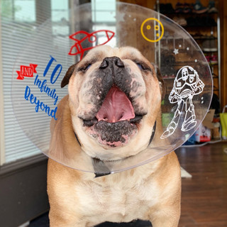One of our precious patients, Strider the Bulldog! (2019)