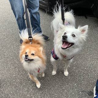 Paxil and Zocor at the Indy Mutt Strut. (2019)