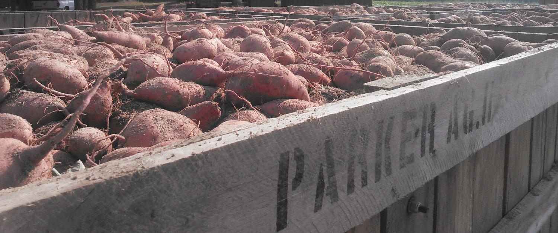 potato picture_edited